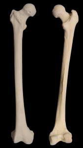 femur, Human Body