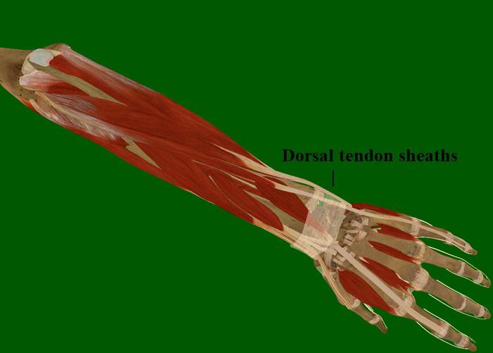 Forearm/Hand